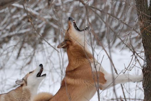 Охота на куницу, охота на куницу троплением, охота на куницу капканом, охота на куницу с лайками, как ставить капканы на куницу, как найти куницу, след куницы