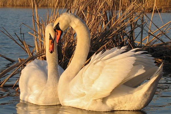 Картинки с лебедях в природе