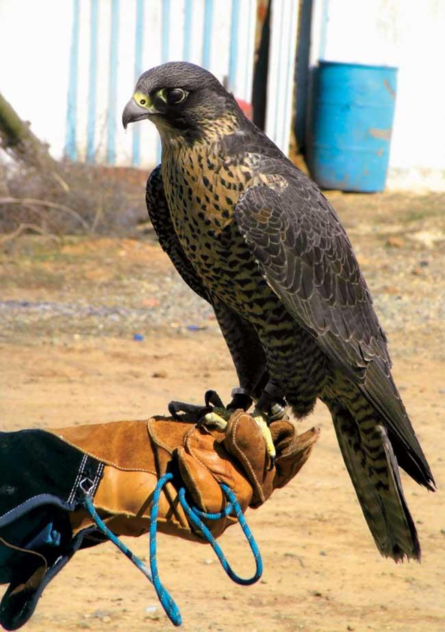 фото орла беркута