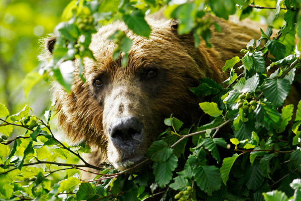 Во Флориде за два дня убили 320 медведей, в Саратовской области убьют 3736 лисиц