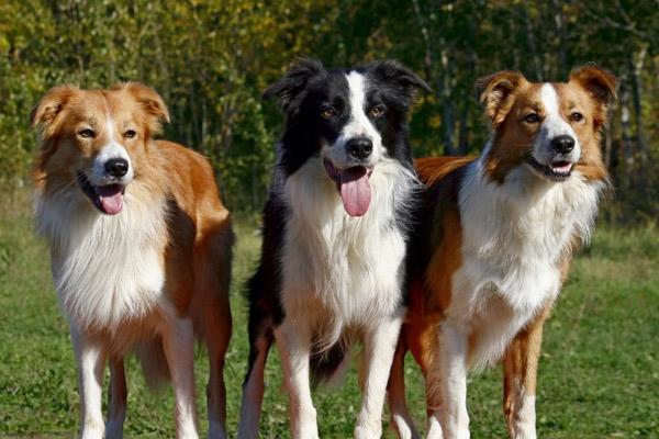 Самая умная собака, рейтинг собак, породы собак, самые умные собаки, самая умная порода собак, рейтинг пород собак, бордер колли, немецкая овчарка, лабрадор ретривер, бигль, бладхаунд, умные собаки