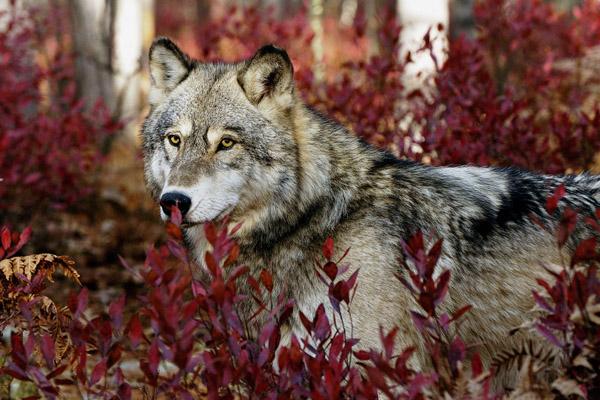 Волк, охота на волка, волк напал, волки загрызли, волки на Украине, волки в Крыму, волки Луганск, бешеный волк, охота на волков
