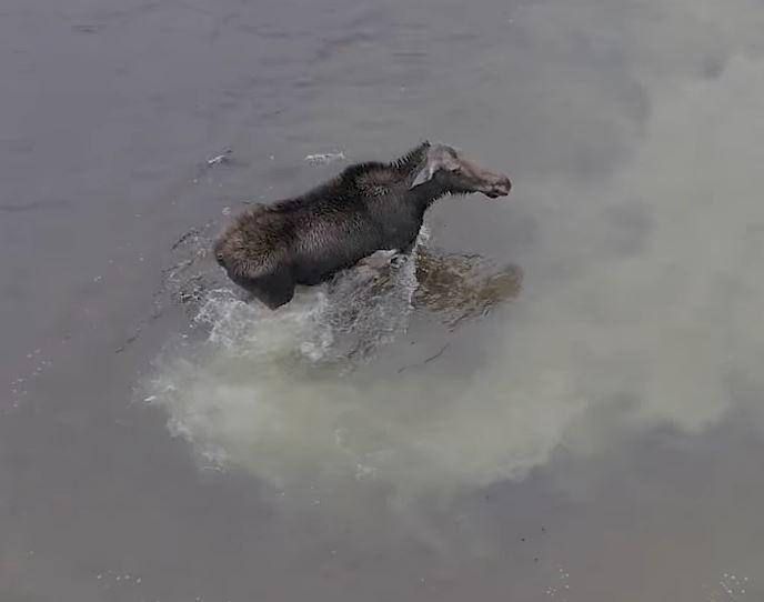Волк атакует лося в водах Северного Онтарио...