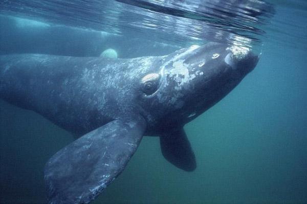 Всемирный день китов, 19 февраля день китов и дельфинов, киты, китобойный промысел, добыча китов, китобаза, китобойные суда, китобои, какие бывают киты, усатый кит, зубатый кит, кашалот, косатки, синий кит, гладкий кит, гренландский кит, белый кит, гарпун на кита, китобой