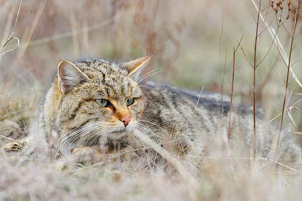 Кошки, дикий кот, дикая кошка, лесной кот, европейская дикая лесная кошка, кошки фото, дикий лесной кот фото, приручить дикого кота, поймать дикого кота, враги дикой кошки, как выглядит дикий кот фото, картинки дикий кот