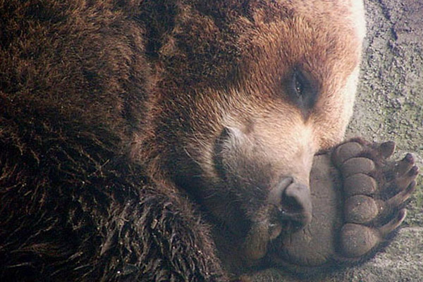 Медведь, медведь в берлоге, как спит медведь, почему медведь сосет лапу, медведь фото, медведь в спячке, бурый медведь, когда медвдедь впадат в спячку, что ест медведь, медведица с медвежатами в берлоге