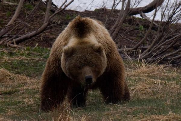 В Томской области началась охота на медведей