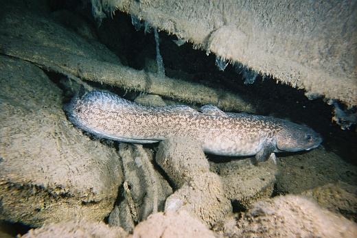 Налим, подводная охота на налима, нерест налима, как ловить налима, подводная охота зииой, зимняя подводная охота на налима