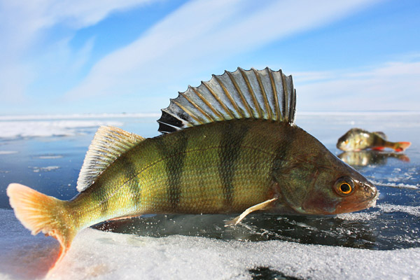 Рыбалка по перволедью, ловля окуня по первому льду, ловля окуня по преволедью, рыбалка по первозимью, прикормка окуня по первому льду, наживка на окуня, способы ловли окуня по первому льду, ловля окуня на мормышку по перволедью, блесгы на окуня по первому льду, ловля окуня на балансир