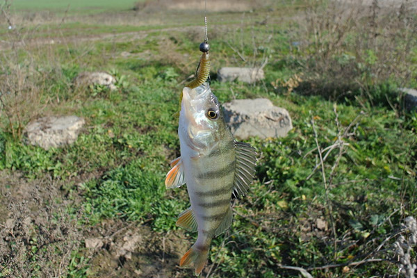 Ловля окуня в ноябре, где ловить окуня в ноябре, рыбалка на окуня в ноябре, как ловить окуня в ноябре, на что ловить окуня в ноябре, снасти на окуня в ноябре, приманки на окуня, ловля окуня на джиг в ноябре, ловля окуня н аблесну в ноябре, ловля окуня на воблер в ноябре, проводка на окуня в ноябре, твитчинг окуня