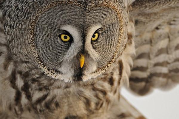 Сова, сова летит, бесшумная сова, перья совы, крылья совы, как летает сова, крылья птиц, сова фото, сова картинки, интересные факты о совах