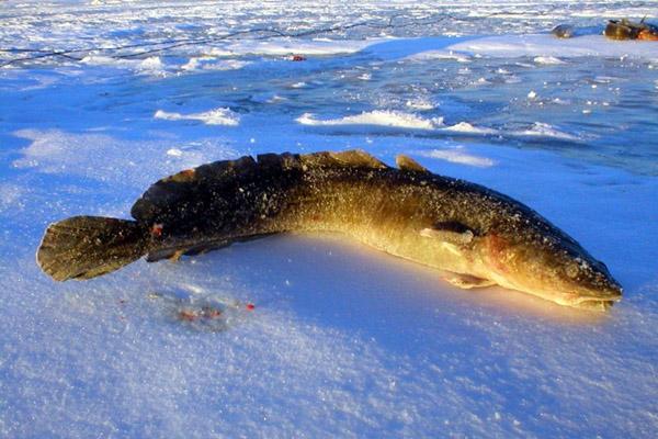 Ловля налима зимой, ловля налима на жерлицы, ловля налима на закидушки, ловля налима на живца, зимняя рыбалка на налима, как ловить налима зимой