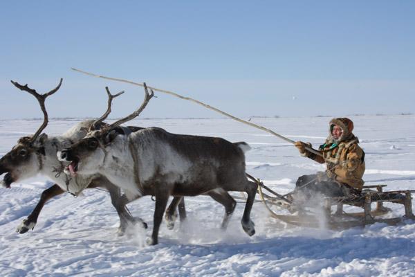 кочевые таежные оленеводы охотники и рыболовы