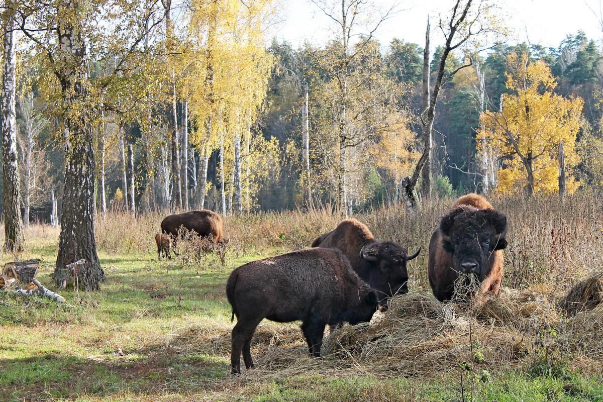 бизон, бизоны, приокско-террасный заповедник, бизоны в Подмосковье
