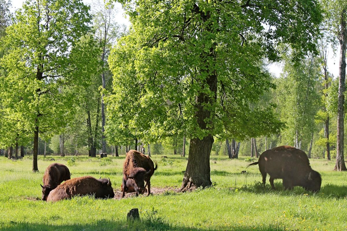 Бизон, бизоны, приокско-террасный заповедник, бизоны в Подмосковье, бизон фото, бизон картинка, усыновить бизона