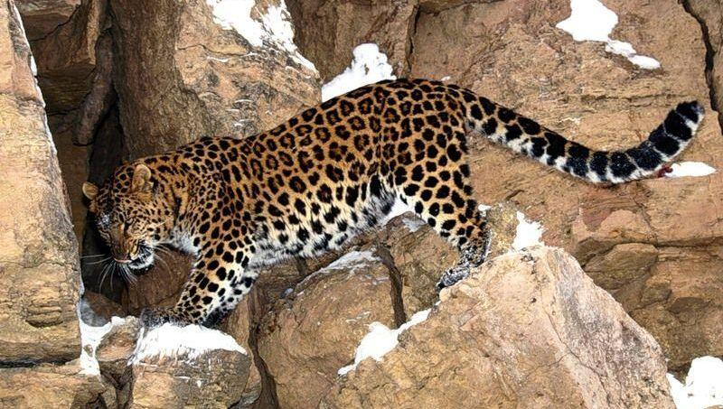 Жители абхазского села поймали сочинского леопарда потерянного учеными