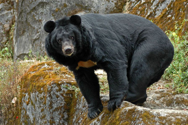 Охота на медведя, охота на гималайского медведя, охота на медведя на берлоге, гималайский медведь