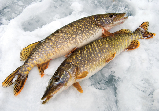 Ловля на жерлицы, ловля щуки на жерлицу, ловля на жерлицу зимой, зимняя ловля щуки на жерлицу, установка жерлиц, как установить жерлицу, подледный лов, зимняя рыбалка, ловля щуки зимой