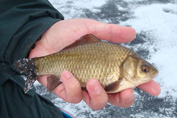 Ловля карася в декабре, рыбалка на карася в декабре, ловля карася зимой, где ловитькарася в декабре, как ловить карася в декабре, ловля карася в декабре на мормышку, ловля карася в декабре на поплавочную удочку