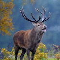 Календарь охотника на сентябрь, календарь охотника сентябрь 2016, охота в сентябре, открытие осенней охоты в сентябре, охота на утку в сентябре, охота на гуся в сентябре, охота на лося в сентябре, охота на оленя в сентябре, охота на медведя в сентябре, охота на кабана в сентябре, на кого охотиться в сентябре, календарь охотника на сентябрь 2016, охотничий календарь на сентябрь