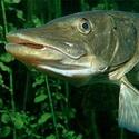 Календарь рыболова на июнь 2017, календарь рыбака на июнь, календарь клева рыбы в июне, календарь рыболова июнь, луннный календарь рыболова на июнь 2017, лунный календарь клева рыбы июнь 2017, как ловить рыбу в июне, какую рыбу ловить в июне, на что ловить рыбу в июне, как клюет рыба в июне, рыбалка в июне