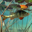 Календарь рыболова август 2013, календарь клева рыбы на август, календарь рыбака, рыбалка в августе, лунный календарь рыболова на август 2013, как ловить рыбу в августе, на что ловить рыбу в августе, какую рыбу ловить в августе, какая рыба клюет в августе, прогноз клева рыбы на август, календарь рыболова на август Ленинградская область