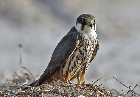 дербник фото птица