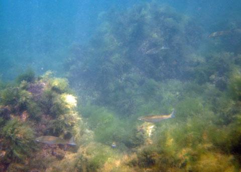 Подводная охота на черноморскую кефаль