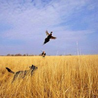 Охота на дикого фазана