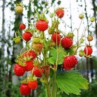 земляника лесная фото ягода
