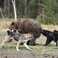 Притравка охотничьих лаек