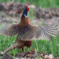 Породы и содержание фазанов