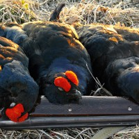 Весенняя охота 2014, открытие весенней охоты 2014, сроки весенней охоты 2014, весенняя охота на утку 2014, весенняя охота на гуся 2014, сезон весенней охоты 2014, открытие весенней охоты в области