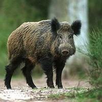 Охота, охота в Крыму, крымские охотники, охота в Крыму, сроки охоты в крыму, открытие охоты в крыму, сезон охоты в крыму, правила охоты в крыму