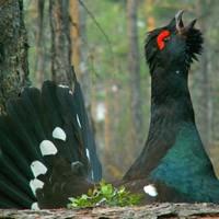 Весенняя охота 2015 в Иркутской области: 100 рублей за глухаря, 20 рублей за тетерева