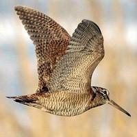 Весенняя охота 2015, открытие весенней охоты 2015, сроки весенней охоты 2015