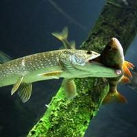 Приманки для ловли судака - Охота и рыбалка в России и за рубежом