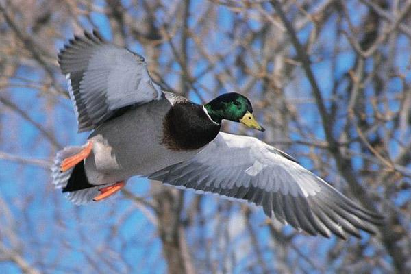 Весенняя охота 2016, открытие весенней охоты 2016, сроки весенней охоты 2016, весенняя охота на утку 2016, весенняя охота на гуся 2016, сезон весенней охоты 2016, открытие весенней охоты в области