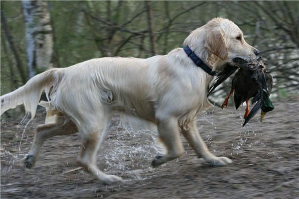 охота в Ярославской области, весенняя охота 2014 в Ярославской области, охота на гуся в ярославской области, охота на тетерева и глухаря, охота видео, охота 2013, охота бесплатно, бесплатная охота, лучшие охоты, охота и рыбалка,  сезон охоты, охота на гуся, охота в области