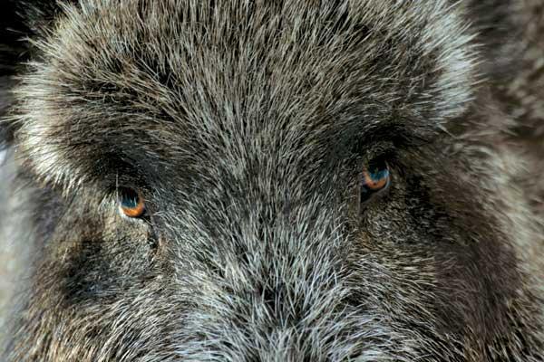Охота в Воронежской области, охота на кабана, вирус чумы, АЧС, африканская чума свиней, запрет на добывание охотничьих ресурсов, запрет на охоту в Воронежской области
