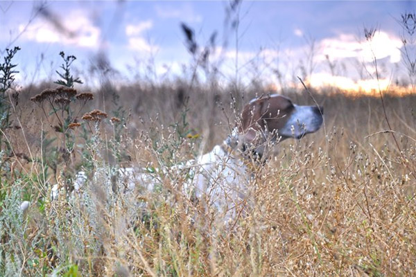 охота, охота на Сахалине, открытие охоты на Сахалине, охота на пернатую дичь на Сахалине, охота на птицу с собаками на Сахалине, охота на болотно-луговую дичь на Сахалине, сезон охоты на медведя на Сахалине, охота на медведя 2013 на Сахалине, сроки охоты на Сахалине