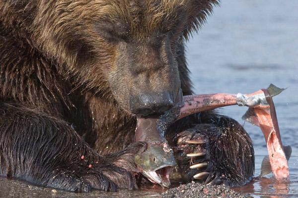 Охота на медведя, медведи, берлога медведя, медведи Камчатки, медведи в Томской области, нападение медведей на человека, отстрел медведей, медведи выходят к людям